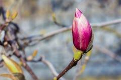 Purpurrote Knospe im Frühjahr Lizenzfreie Stockfotos