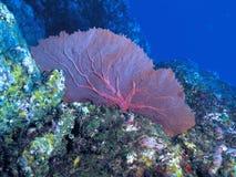 Purpurrote Koralle Lizenzfreie Stockfotografie