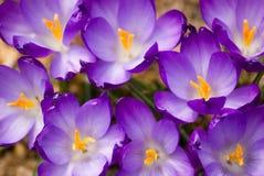 Purpurrote Krokus-Blumen Stockfotografie