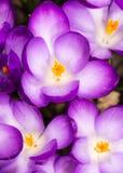 Purpurrote Krokusblüten Lizenzfreies Stockfoto