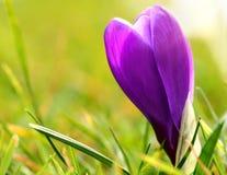 Purpurrote Krokusblume Stockfoto