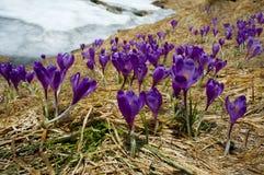 Purpurrote Krokusblume auf der Frühlingswiese Lizenzfreies Stockfoto