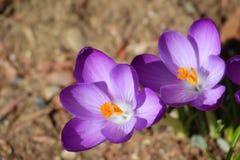 Purpurrote Krokusblumen Stockbild