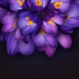 Purpurrote Krokusblumen lizenzfreie abbildung
