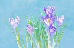 Purpurrote Krokusblumen auf blauem Hintergrund Stockbilder