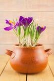Purpurrote Krokusblumen in einem Vasentopf Stockbild