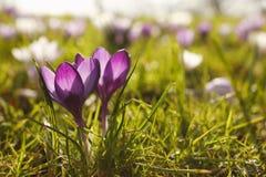 Purpurrote Krokusblumen schließen oben draußen lizenzfreies stockbild