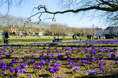 Purpurrote Krokusse in einem Park, Frühlingszeit, Jasne Blonia, Szczecin Lizenzfreie Stockbilder