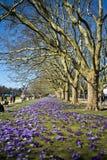 Purpurrote Krokusse in einem Park, Jasne Blonia, Szczecin Lizenzfreies Stockfoto
