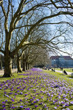 Purpurrote Krokusse in einem Park mit Bäumen Stockfoto