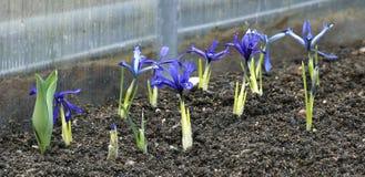 Purpurrote Krokusse im Garten im Vorfrühling Stockfoto