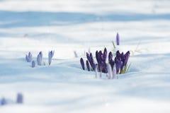 Purpurrote Krokusse im Vorfrühling lizenzfreie stockbilder