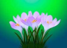 Purpurrote Krokusse mit Blättern auf einem Hintergrund Stockfotos