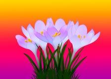 Purpurrote Krokusse mit Blättern auf einem Hintergrund Stockbilder