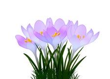 Purpurrote Krokusse mit Blättern auf weißem Hintergrund Lizenzfreies Stockfoto