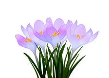 Purpurrote Krokusse mit Blättern auf weißem Hintergrund Lizenzfreies Stockbild