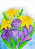 Purpurrote Krokusse und gelbe daffodiles stockfotos