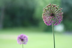 Purpurrote Lauchblume Stockbilder