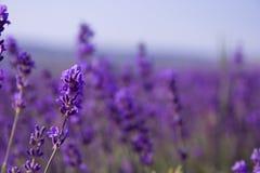 Purpurrote Lavendelblumen auf dem Gebiet Stockbilder