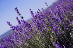 Purpurrote Lavendelblumen auf dem Gebiet Stockfotos