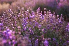 Purpurrote Lavendelblumen auf dem Gebiet Stockfotografie