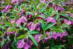 Purpurrote Lenten Rosen, die im Frühjahr blühen Stockfotos