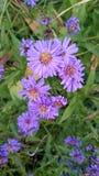 purpurrote letzte Blumen Lizenzfreies Stockbild