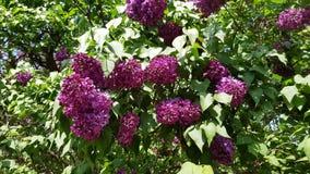 Purpurrote lila Blüte stock video
