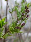 Purpurrote lila Blumen verzweigen sich mit grüner Blattnahaufnahme mit undeutlichen Bäumen im Hintergrund stockbild