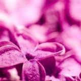 Purpurrote lila Nahaufnahme Lizenzfreie Stockbilder