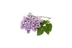 Purpurrote lila Niederlassung, lokalisiert auf weißem Hintergrund Stockfotografie