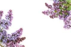 Purpurrote lila Niederlassung, lokalisiert auf weißem Hintergrund Lizenzfreies Stockbild