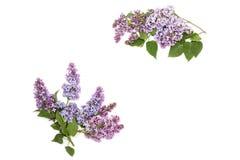 Purpurrote lila Niederlassung, lokalisiert auf weißem Hintergrund Lizenzfreie Stockfotos