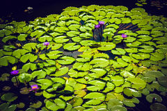 Purpurrote Lilien im Teich des botanischen Gartens von Kandy Sri Lanka Lizenzfreie Stockbilder