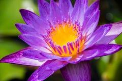 Purpurrote Lotosblume in der Blüte Lizenzfreie Stockfotografie