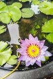 Purpurrote Lotosblume mit dem gelben und rosa Blütenstaub Lizenzfreies Stockbild