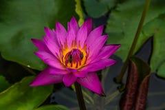Purpurrote Lotus-Blume mit den Honigbienen, die Blütenstaub sammeln Lizenzfreie Stockbilder