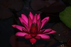 Purpurrote Lotus-Blume umgeben durch Blätter lizenzfreie stockbilder