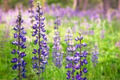 Purpurrote Lupine Wildflowers heraus in der Wiese Stockfotos