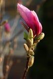 Purpurrote Magnolie Stockfotografie