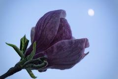 Purpurrote Magnolie unter dem Mond Stockfotografie