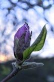 Purpurrote Magnolienknospe Stockfotos