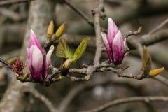 Purpurrote Magnolienknospen und -blätter Lizenzfreie Stockfotos