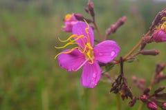 Purpurrote Malabar-Blume Stockbild