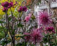 Purpurrote malvenfarbene Rose Spider Chrysanthemums im chinesischen Garten stockfotos