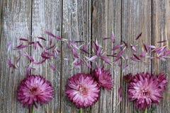Purpurrote Mamablumen schließen oben mit den losen Blumenblättern lizenzfreie stockfotos