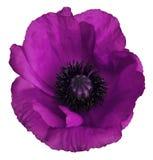 Purpurrote Mohnblumenblume auf einem Weiß lokalisierte Hintergrund mit Beschneidungspfad nahaufnahme Keine Schatten Für Auslegung Lizenzfreie Stockfotografie