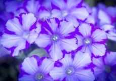 Purpurrote Nahaufnahme der hellblauen und weißen Blumen Lizenzfreie Stockbilder