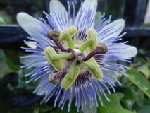 Purpurrote Neigungs-Blume Stockbild