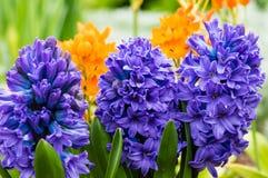 Purpurrote oder blaue Hyazinthenblumen in der Blüte Stockfotos